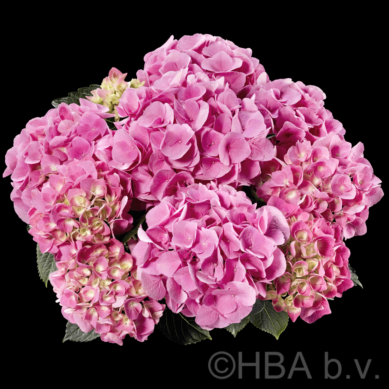 Flowering plants heuger gartenbaubetriebe sarena pink mightylinksfo